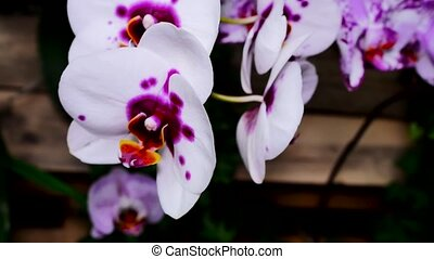 Purple white orchid flower in the garden. The camera moves back on the slider. Color correction.
