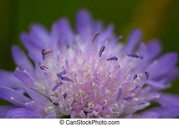 Purple wild flower in a meadow.