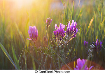 Purple wild flowers in the evening light at the meadow. Selective soft focus.