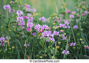 Purple wild flowers in the soft evening light at the meadow. Selective soft focus.