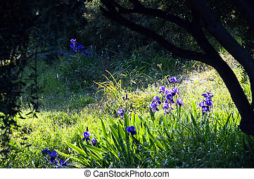 purple wild iris flower