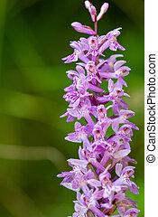 Purple wild orchid flower