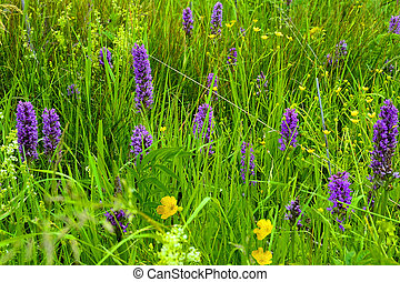 Purple wild orchid flowers on the meadow