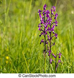 Purple wild orchid in wildflower meadow. Anacamptis laxiflora.