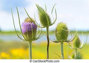 Purple wild teasel in landscape