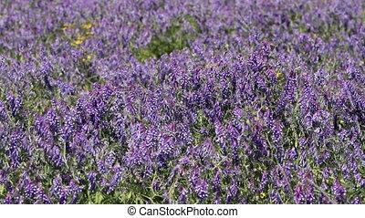 Purple wildflowers - blue wildflowers in the meadow, full hd...