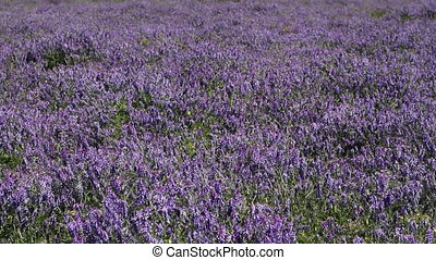 purple wildflowers - purple wildflowers in the meadow, full...