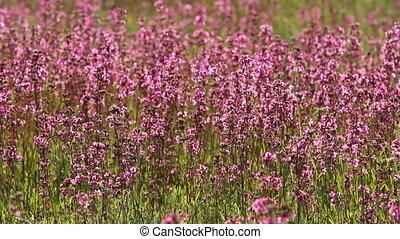 purple wildflowers in the meadow, full hd video