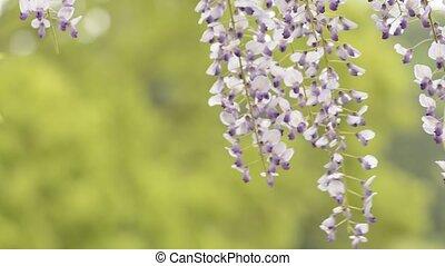 Purple wisteria flowers - Close up purple wisteria flowers...