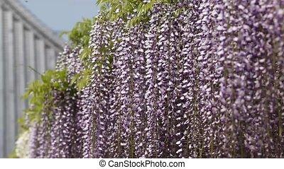 purple wisteria trellis
