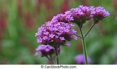 Purpletop, Verbena bonariensis in bloom - close up + zoom out
