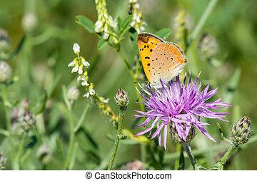 Purplish Copper feeding from a wildflower in a meadow.