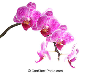 purplr orchid on white background closeup image