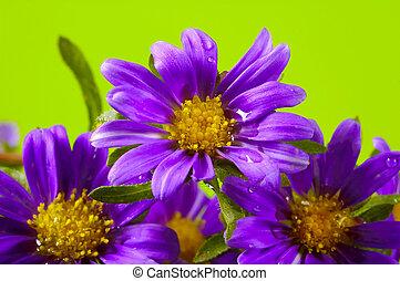 purpur blomstrer