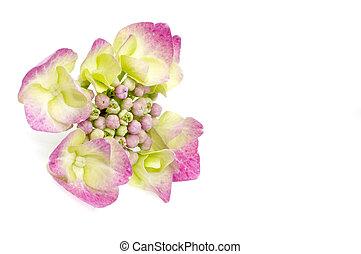 purpur, hortensia