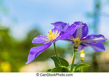 purpur, klematis