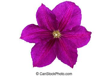 purpur, klematis, blomma, isolerat, vita