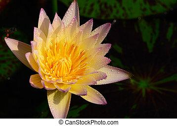 purpur, lotus, uppe, gul, nära