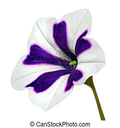 purpur, stripes, på, morgon härlighet, med, grön, blomma, isolerat