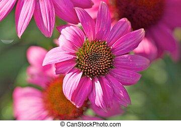 purpurea, крупным планом, echinacea
