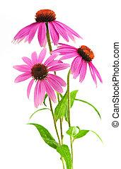 purpurea, 植物, echinacea