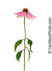 purpurea, 背景, echinacea, 白, 上に, 花