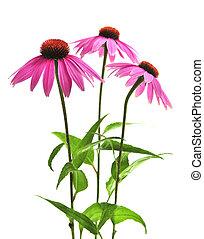 purpurea, berendezés, echinacea
