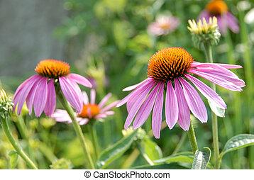 purpurea, flor, echinacea