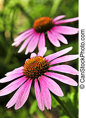 purpurea, plante, echinacea