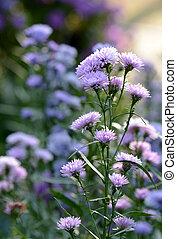purpurfärgade blommor, med, mjuk, bakgrund
