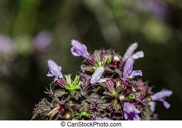 purpurne blumen, in, sommer