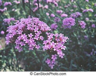 purpurowe kwiecie