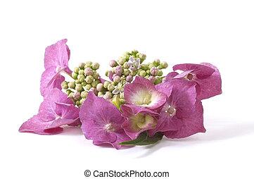 purpurowy, hortensja
