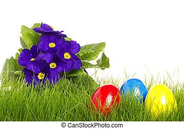 purpurowy, jaja, tło, biały, wielkanoc, primula