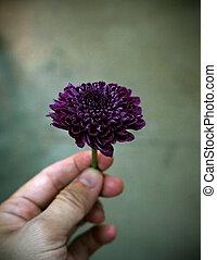 purpurowy kwiat, dzierżawa ręka