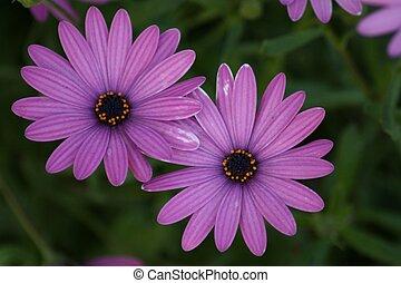 purpurowy, margerytki, intensywnie