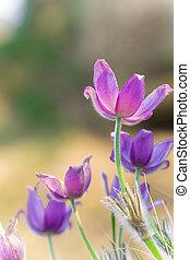 purpurowy, pasque, kwiaty, na, góry