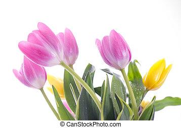 purpurowy, tulipany, biały, odizolowany
