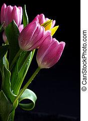 purpurowy, tulipany, czarne tło
