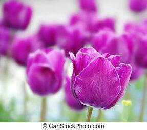 purpurowy, tulipany, tło