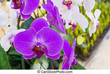 purpurowy, wizerunek, do góry, phalaenopsis, zamknięcie, biały, orchidee