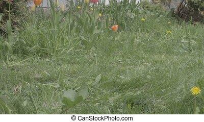 Push Lawn Mower Cuts Grass - Barefoot women uses push lawn...