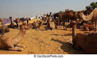 Pushkar Camel Fair - camels during festival