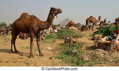 Pushkar Camel Fair - group of camels during festival