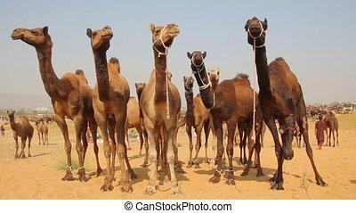 pushkar, podczas, wielbłądy, jarmark, wielbłąd