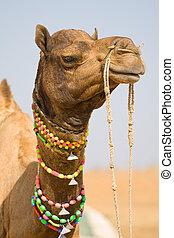 pushkar, rajasthan, messe, indien, kamel