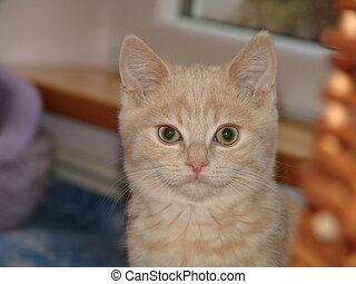 Pussy - Shorthair cat
