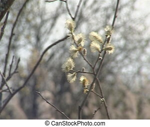 Pussy-willow branch beautiful bloom - Sign of Spring....