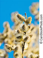 Pussy Willow branch with catkins