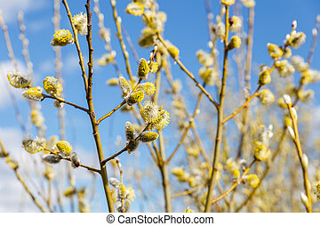 Pussy willow branches in spring sunny day
